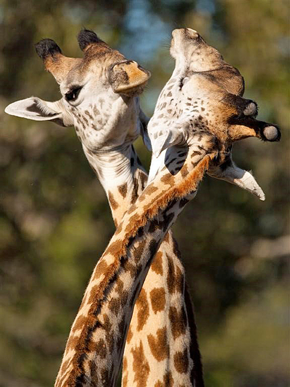 Nature's Great Neckers: Male Giraffes will establish dominance by swinging their heads and necks at each other, followed by a longer period where they will caress one another with their necks. The best place to see giraffes is Zambia, says Wild Planet.