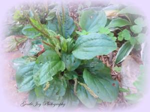 Plantain (2)