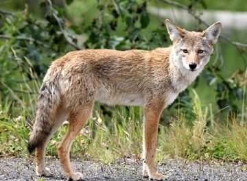 Annual Wildlife Habits Cause Increase in Coyote, Bobcat Activity