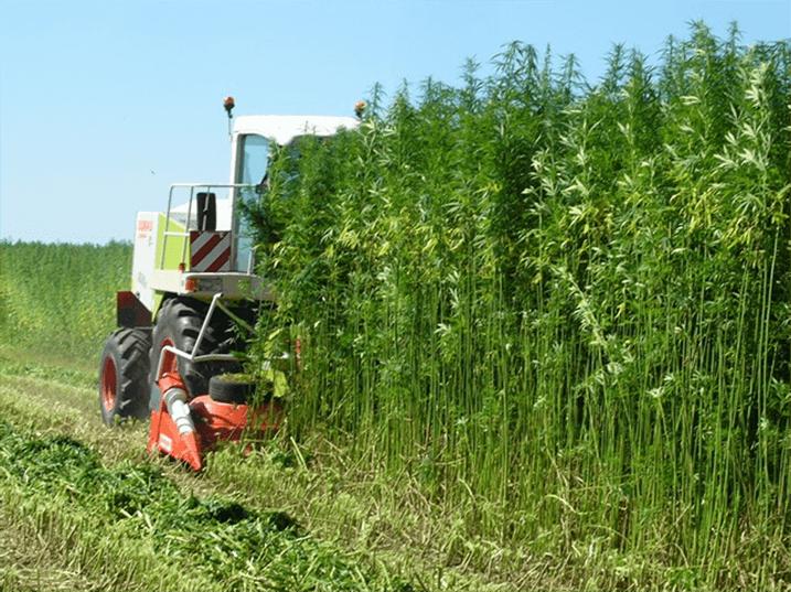 What is phytocannabinoid rich hemp?