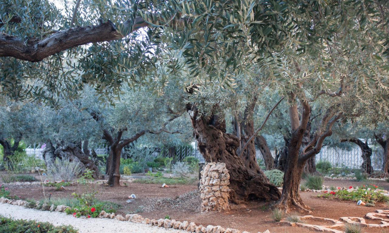 Prayer Reflection Holy Land Israel Garden Of Gethsemane Maranatha Tours