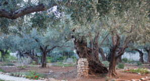 Biblical Site Expanded Garden of Gethsemane Maranatha Tours