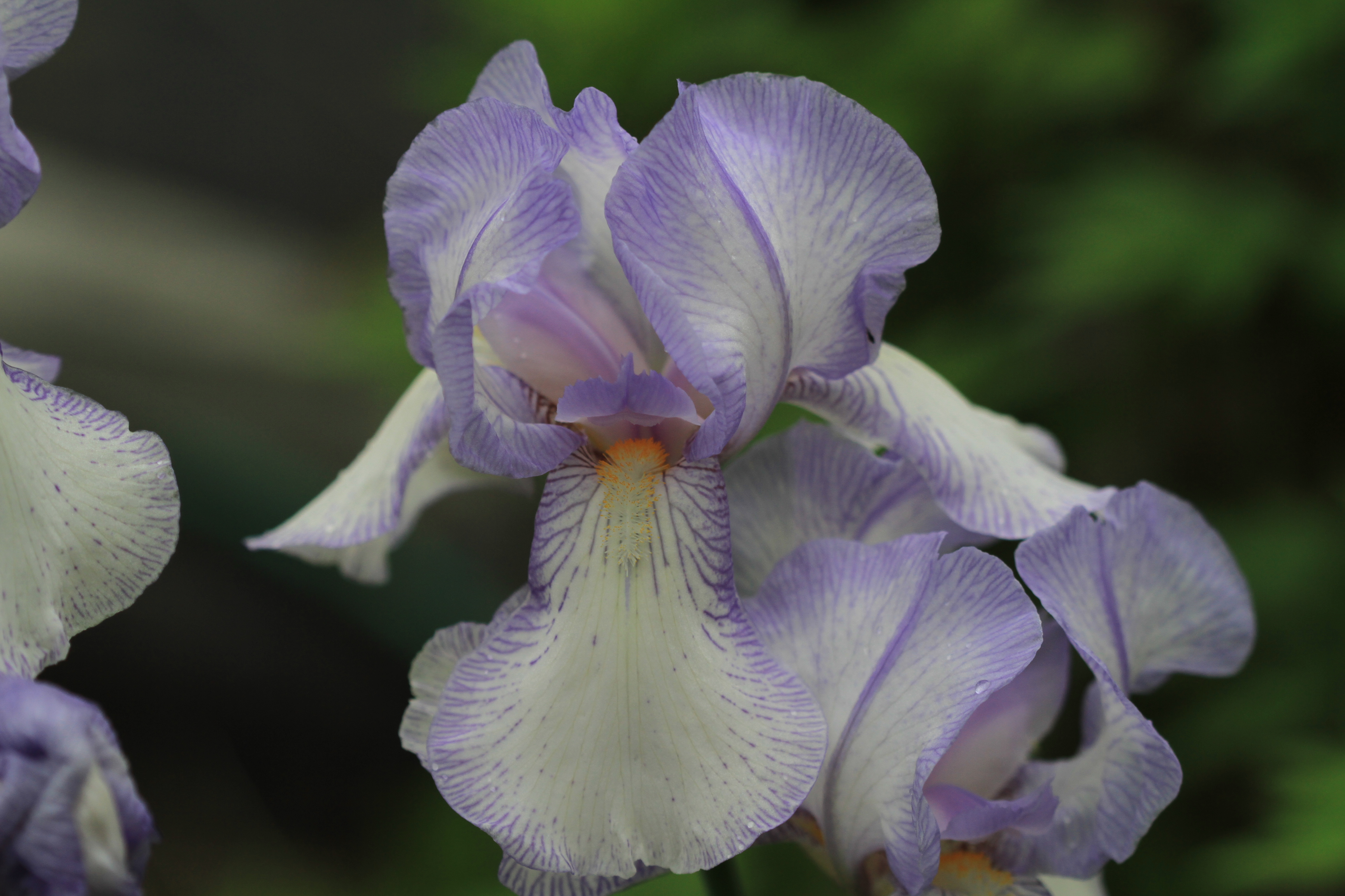 Lavender and White Iris