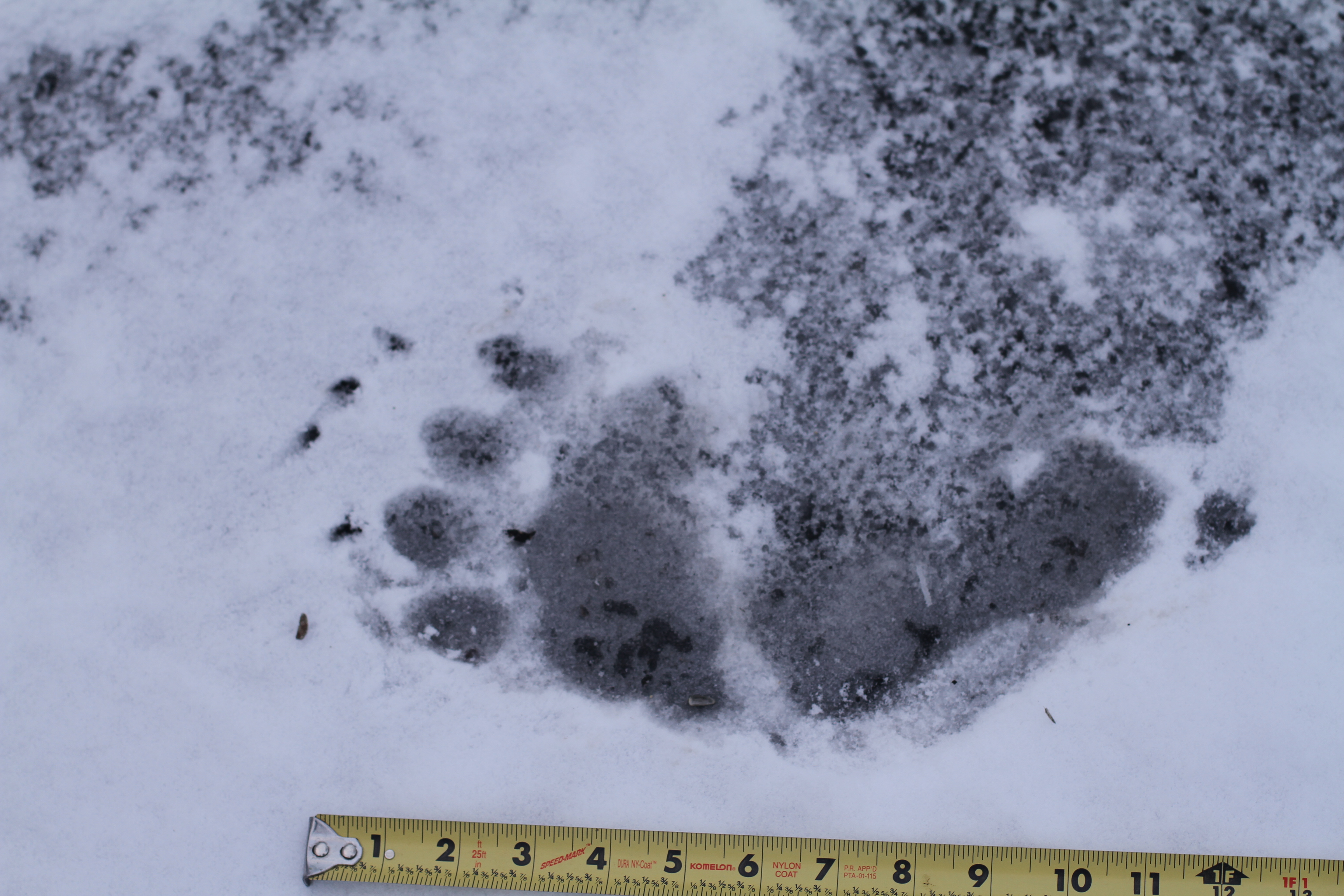 Black Bear Prints in Snow