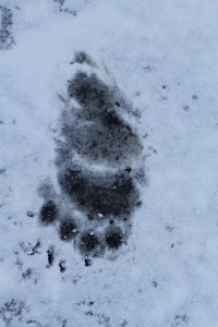 11 Inch Bear Print in March Snow