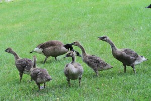 Young Geese with Parents
