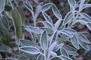 Hoar Frost on Sage