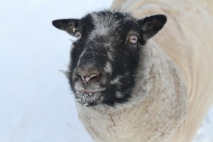 TyDye (Shetland Sheep) in the snow