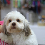 Puppy Cut grooming style