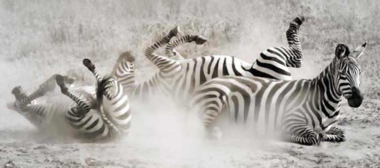 Zebra Play by Dr. Mark Hosko