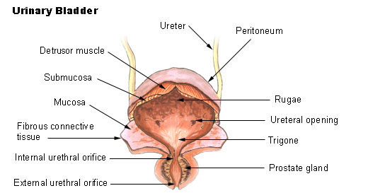 Urinary Bladder