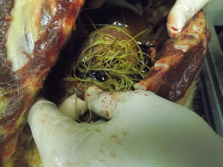 heartworms 1