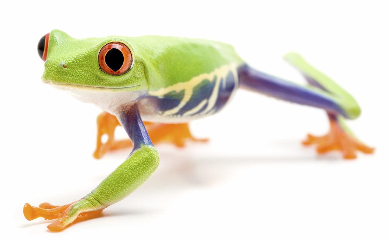 Red Eyed Tree Frog Crawling