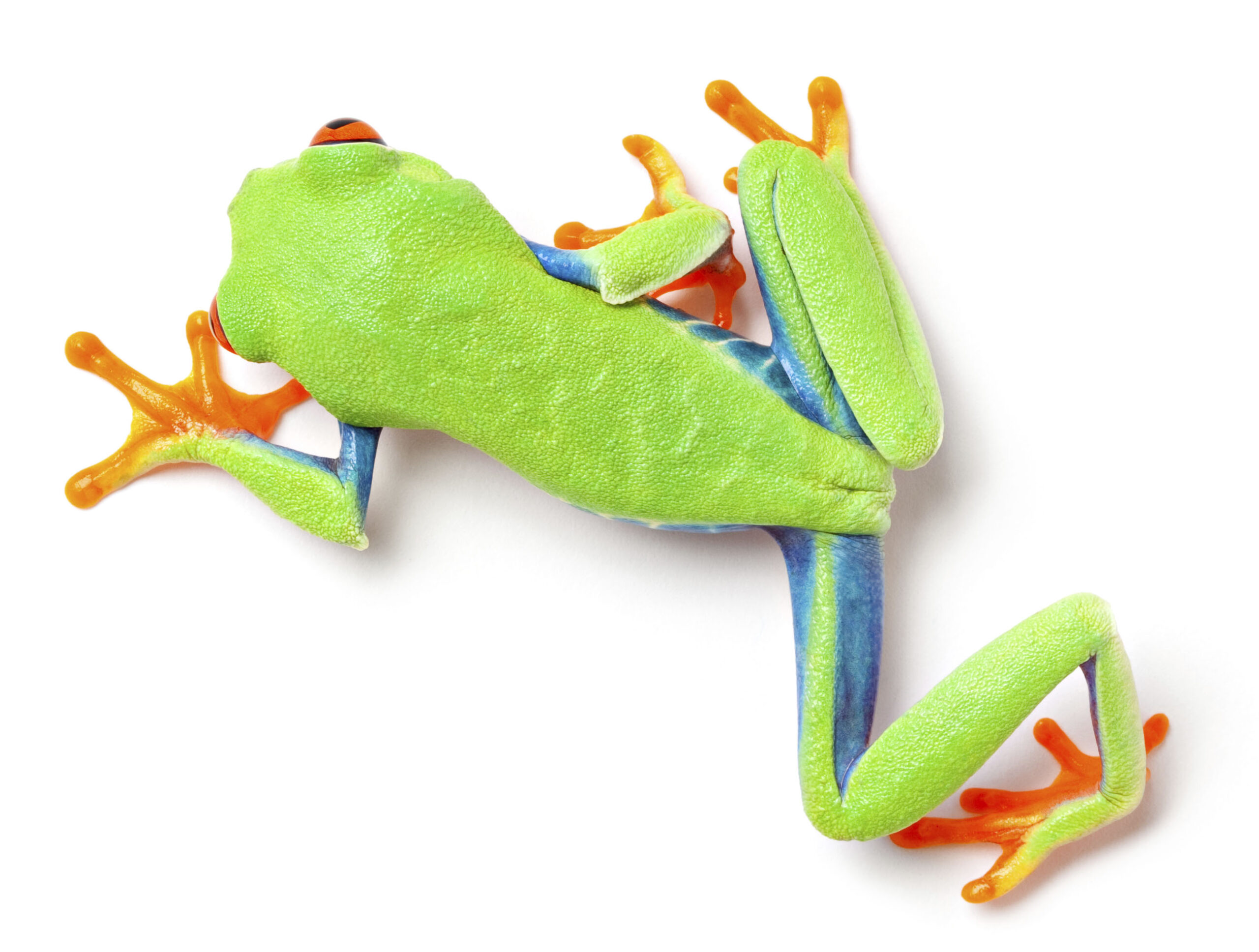 Red Eyed Tree Frog Top View