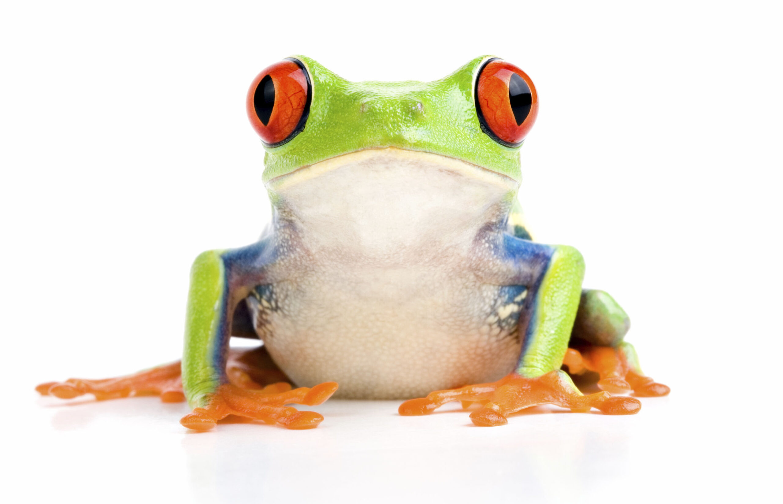 Red Eyed Tree Frog Chillin'