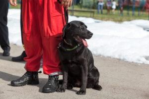 Assistance dog. Black Labrador Retriever.
