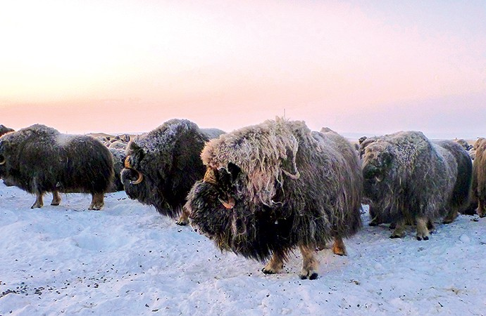 Marketed NWT muskox hides return first thousands