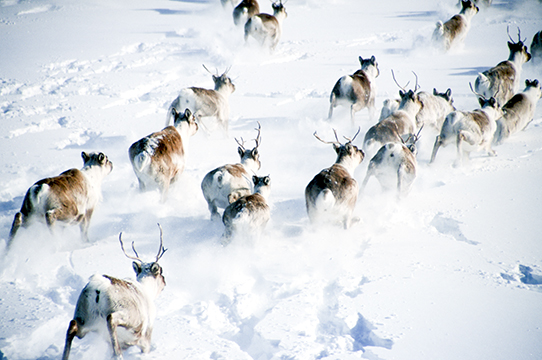 First Nations face tough choice as caribou numbers continue to decline