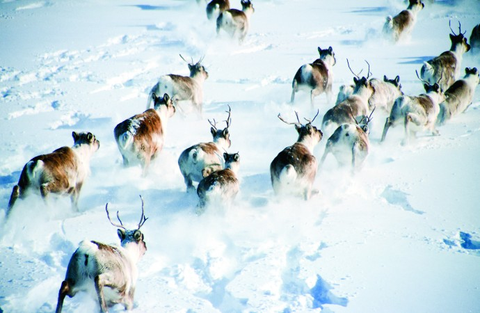 Yellowknives Dene to cancel fall caribou hunt: chief