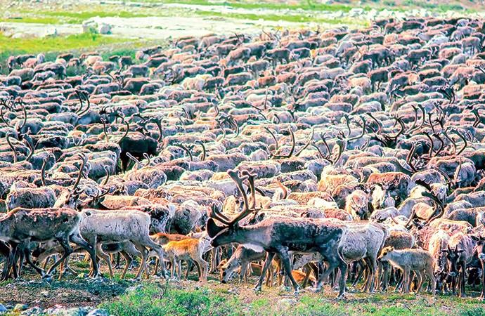Zero harvest expected for Bathurst caribou