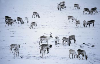 Caribou boards monitor social media impact on herds