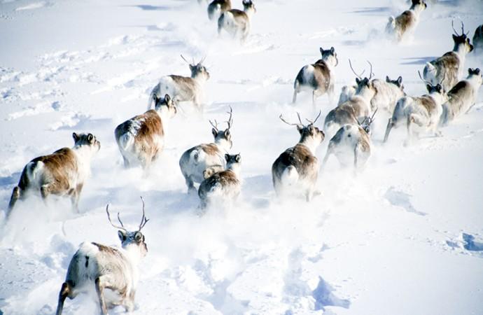 2014 brings alarming news for caribou, harvesters