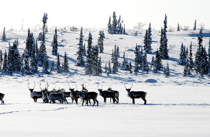 Changing snowpack a concern for caribou: scientist