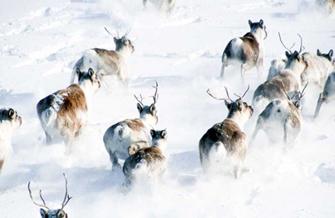 Bathurst, Bluenose-East caribou still in decline: report