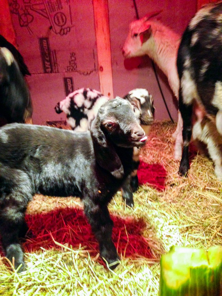 """A """"sassy"""" Nubian goat, one of the dozen or so kids unexpectedly birthed at the Northern Farm Training Institute in Hay River over the Christmas holiday and in January."""