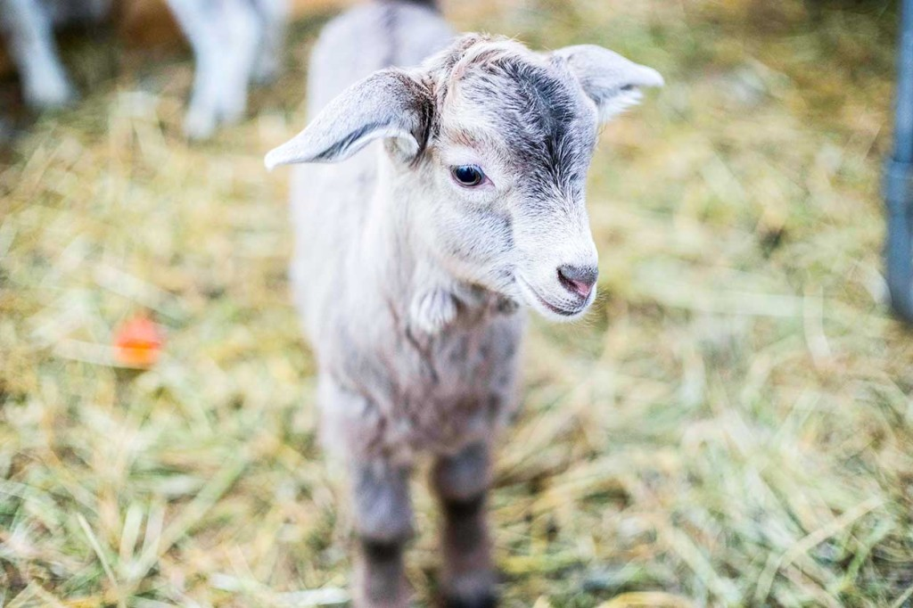 A total of 23 kids have now been born to nannies at the Northern Farm Training Institute. The births - every one of them - were a surprise, as the farm's animal manager was unaware they were pregnant when he bought nine females in B.C.