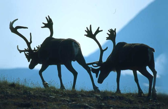 The Beverly Caribou Herd's headlong rush to extinction