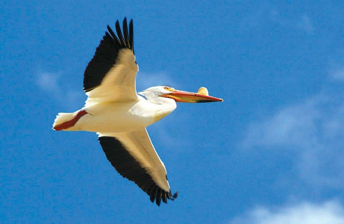 First pelican spotting marks coming of spring