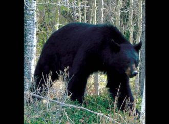 Bear sightings spike in communities across the North