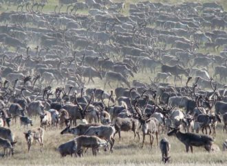 Good year for barren ground caribou