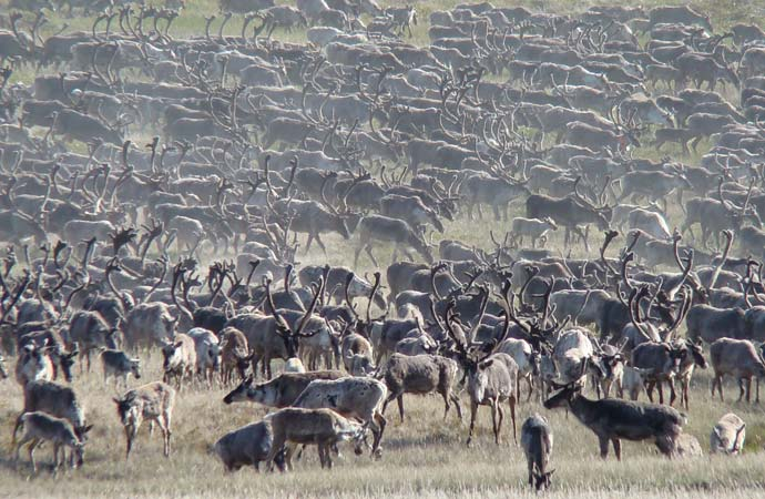 Northern caribou in recovery