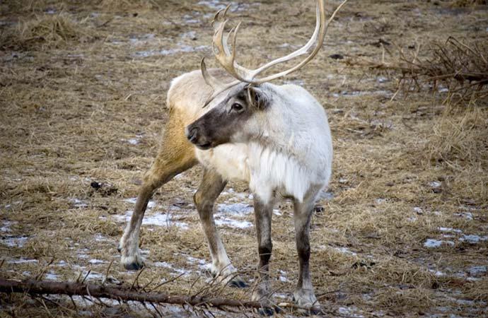 Seismic lines disturb boreal caribou