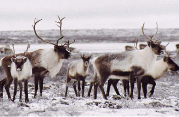 Barren ground caribou hunting ban could be lifted: Miltenberger