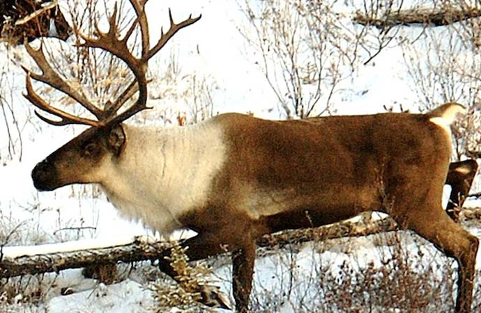 Beverly caribou haven't disappeared, they've just moved north, biologist reports