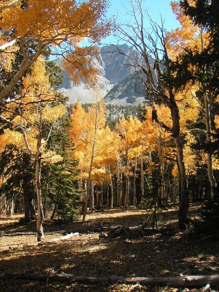 Great Basin Aspen Trees in fall colors