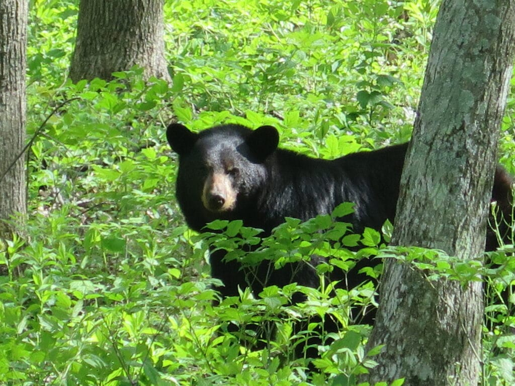 Bear in Shenandoah National Park