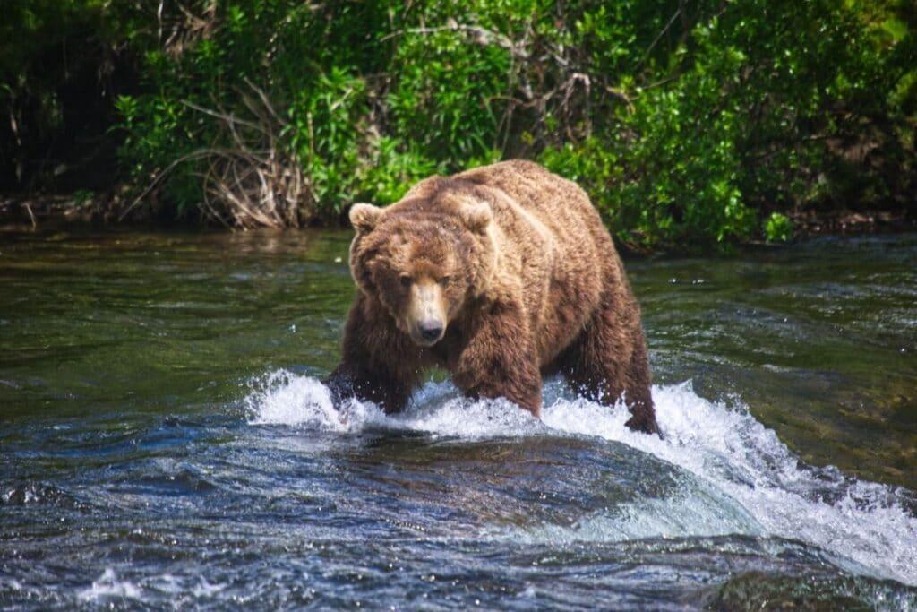 A massive male brown bear walks across the river