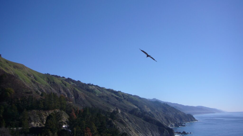 California Condor in flight over the California Coast