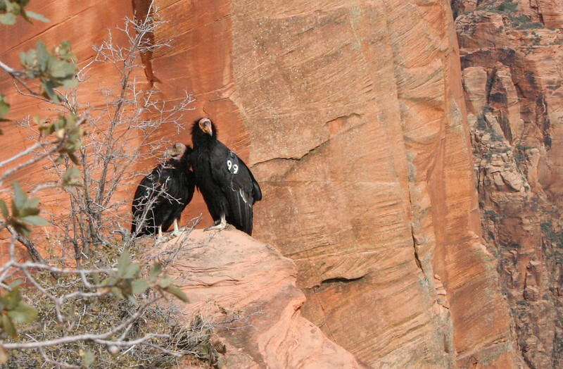 Two California Condors sit on a rock near Angel's Landing