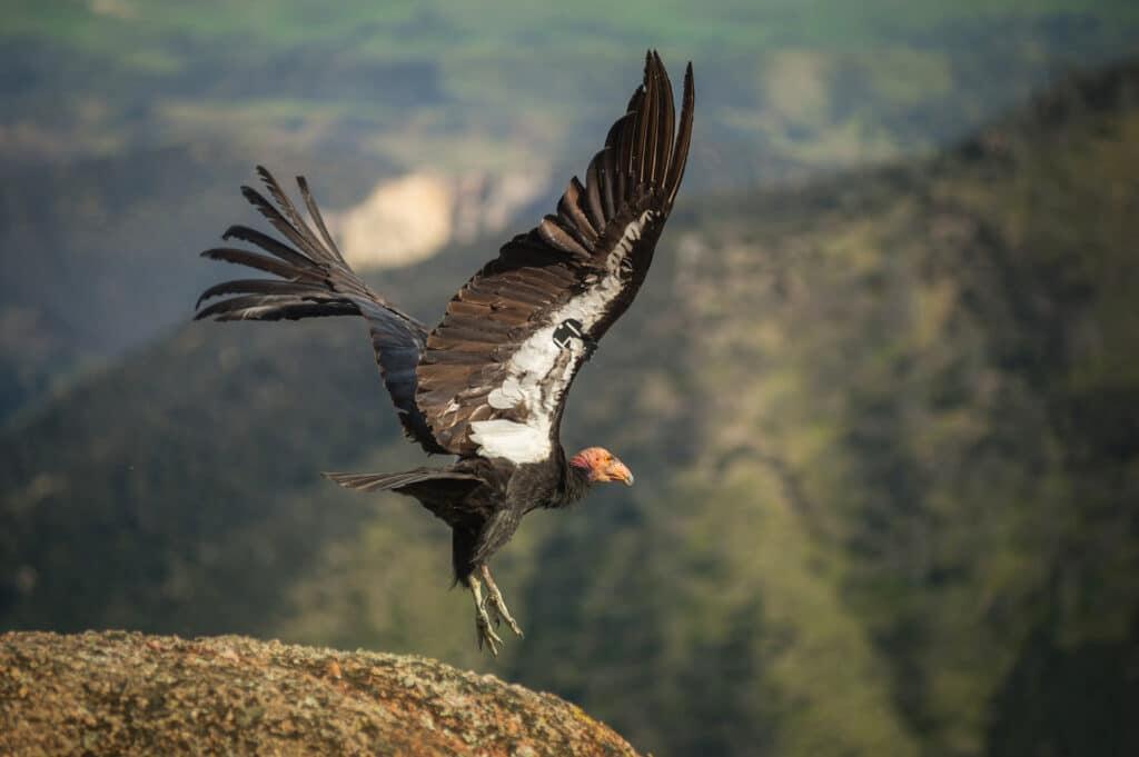 California Condors in Flight