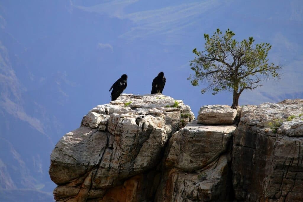 California Condor sit on a rocks at the edge of the Grand Canyon near a tree.