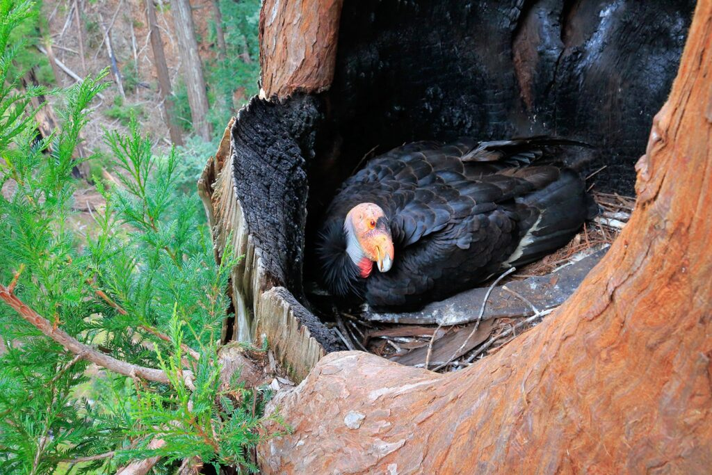 California Condor  sitting in a nest on a redwoods tree