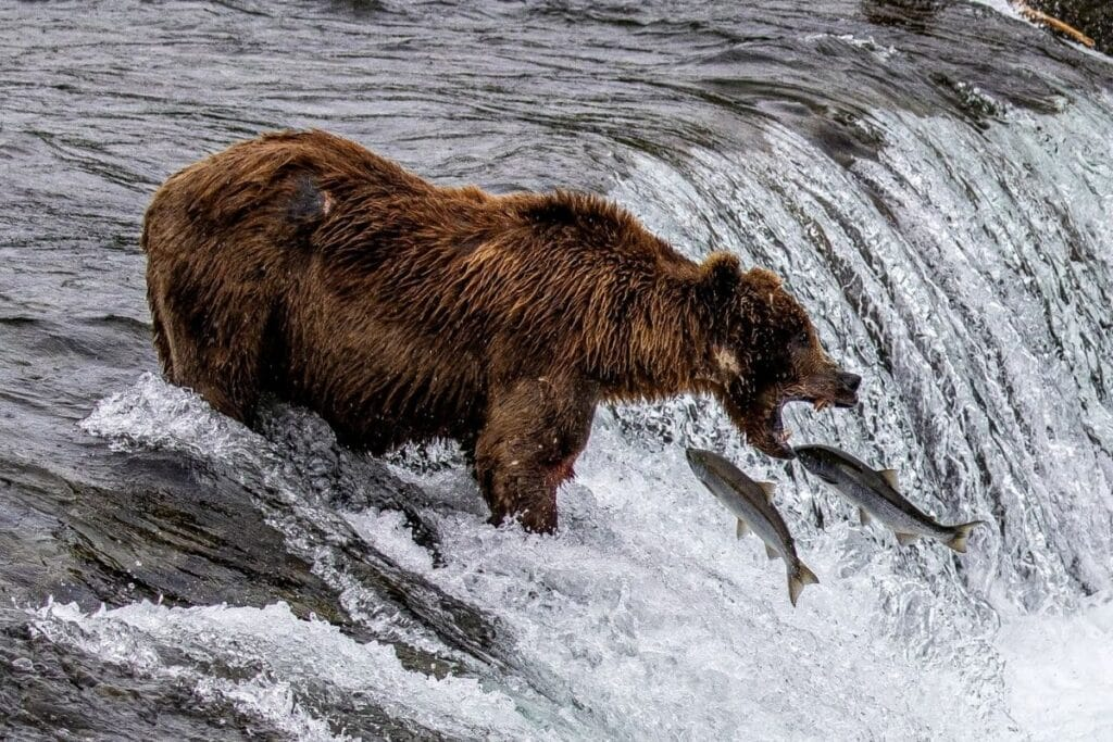 Salmon jumping into the mouth of an Alaskan Brown Bear at Brooks Falls.