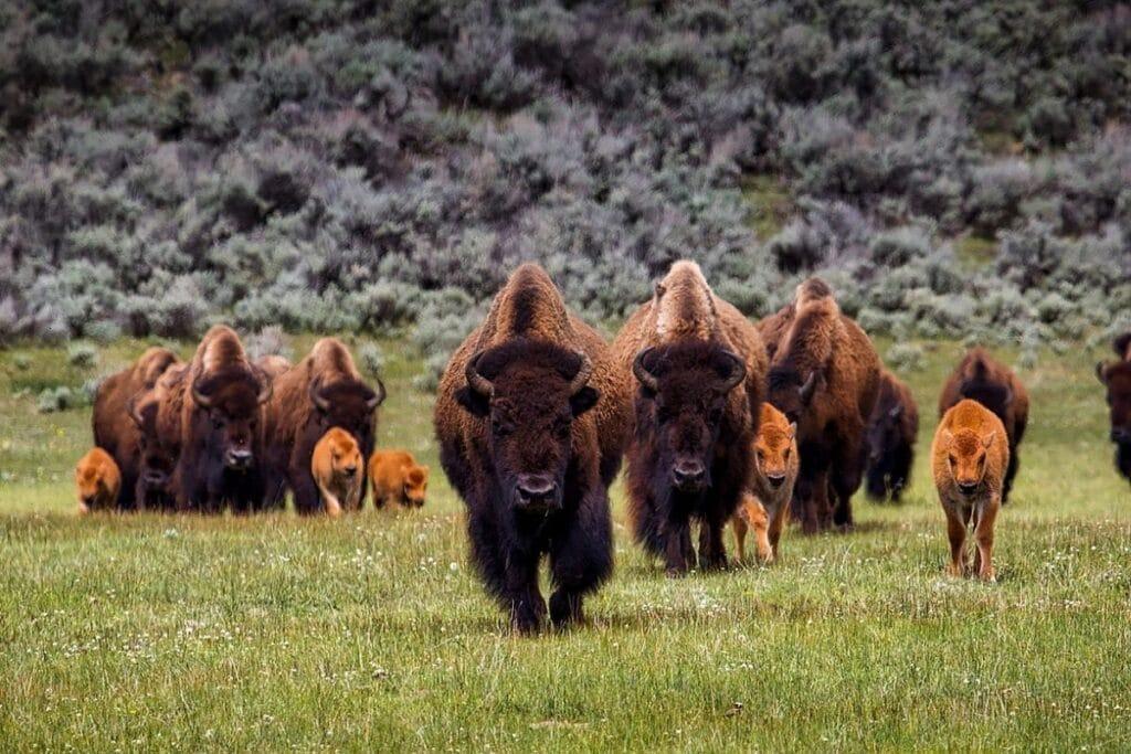Herd of Bison walking with calves.