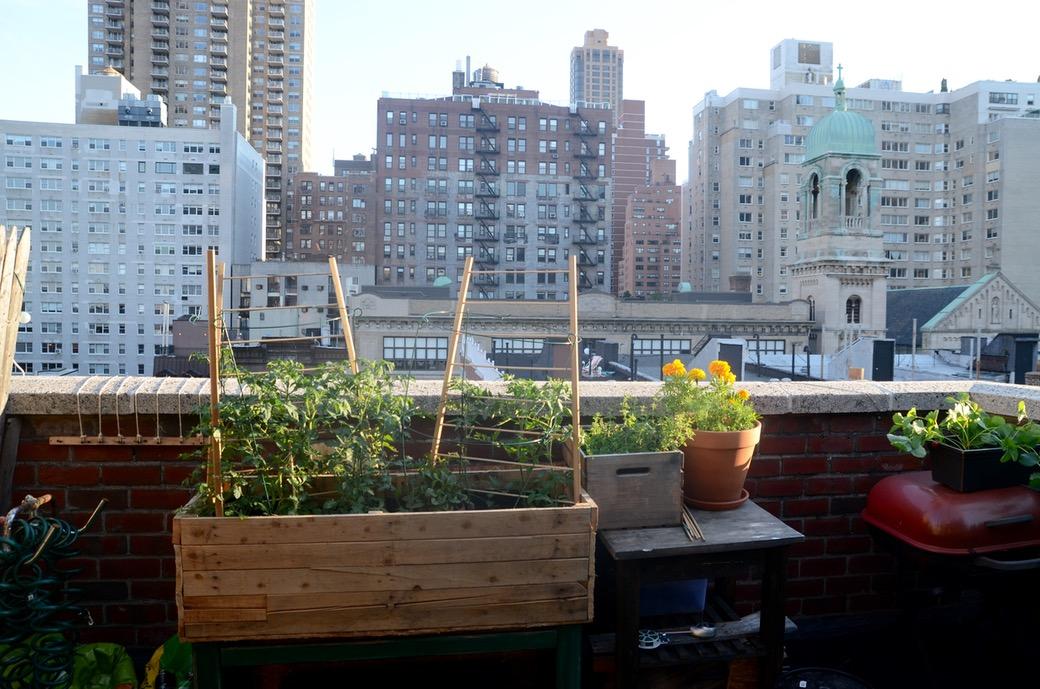 nyc tomato garden