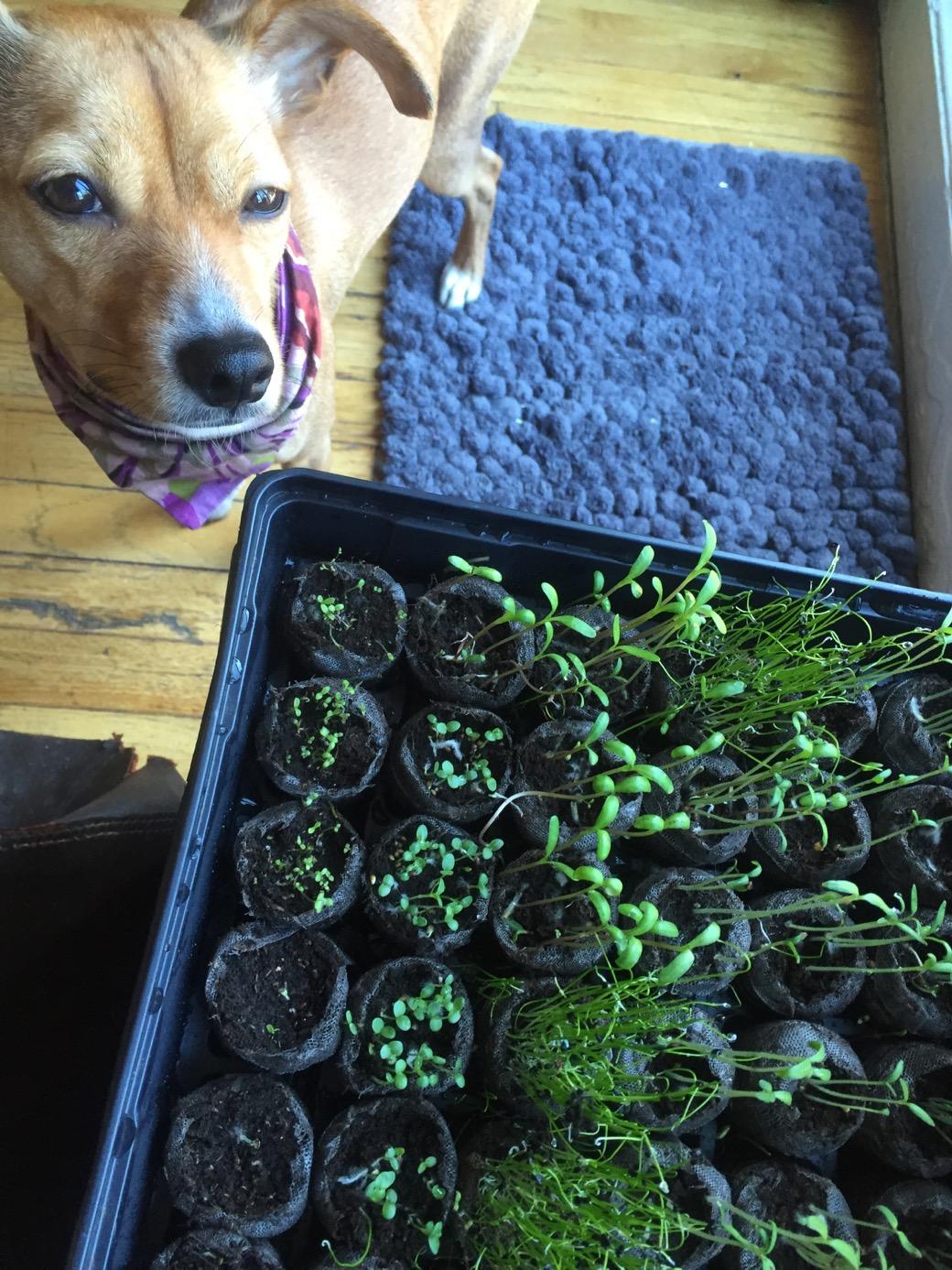 growing seedlings for a garden